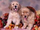 chiens_chiots_couples_01
