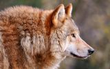 loup-brun_animaux-sauvages_HD-a-telecharger_04
