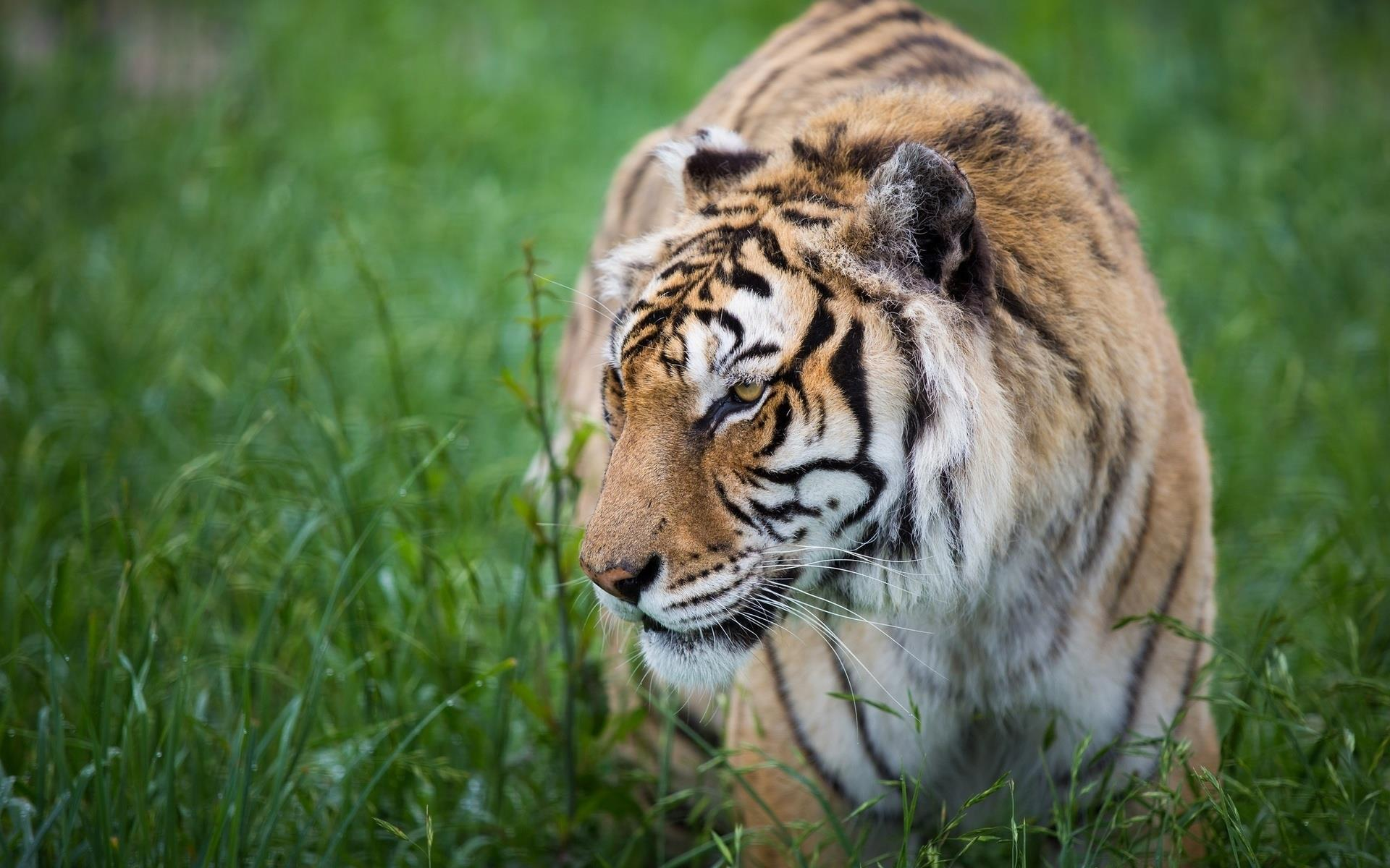 tigre_animaux-sauvages_HD-a-telecharger_08