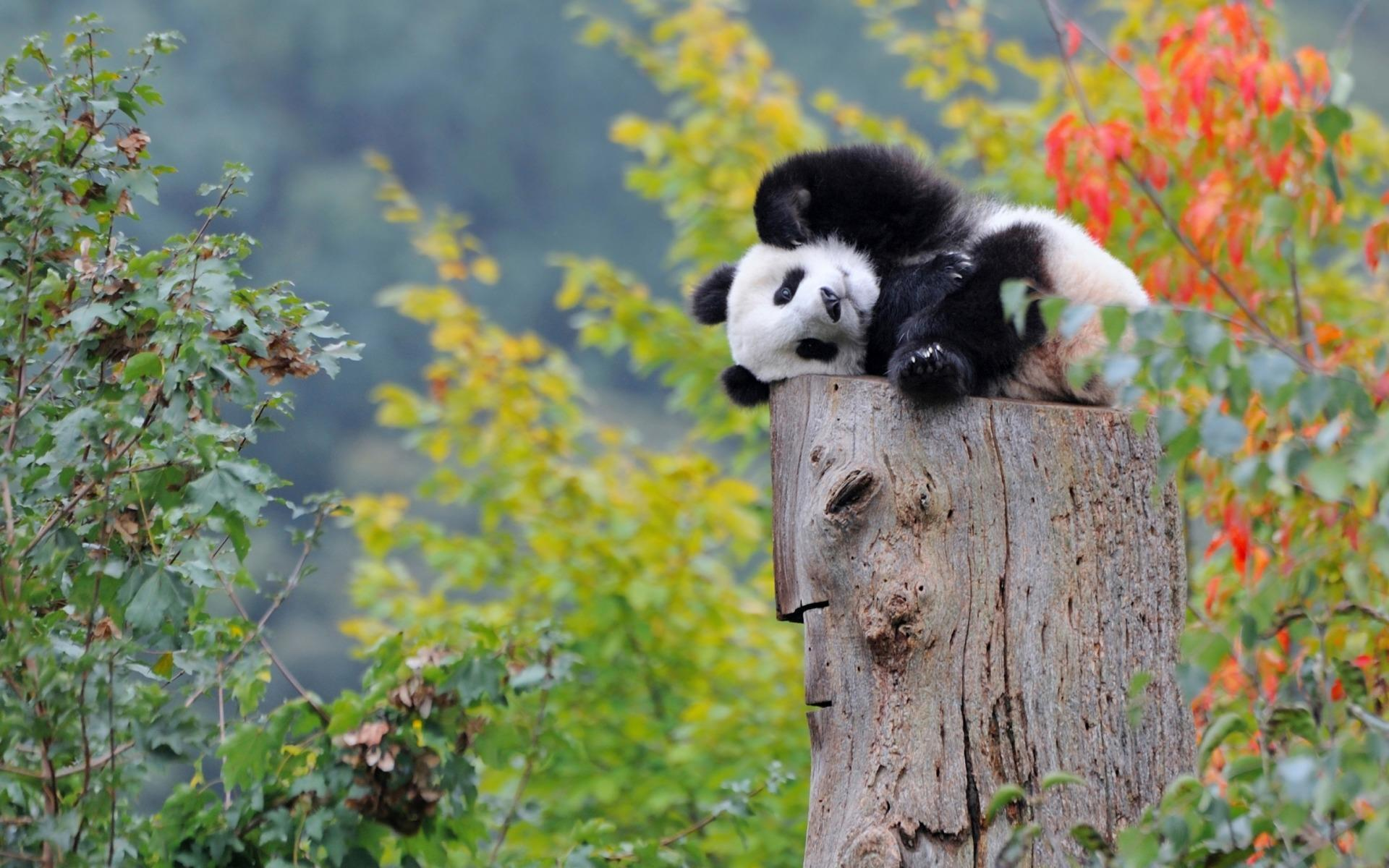 panda-windows-fonds-d-ecran_2