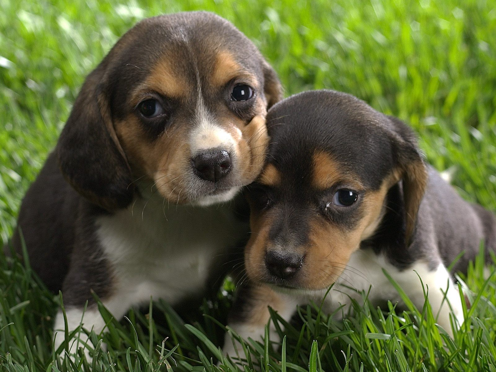 couple-de-chiots-wallpaper-free