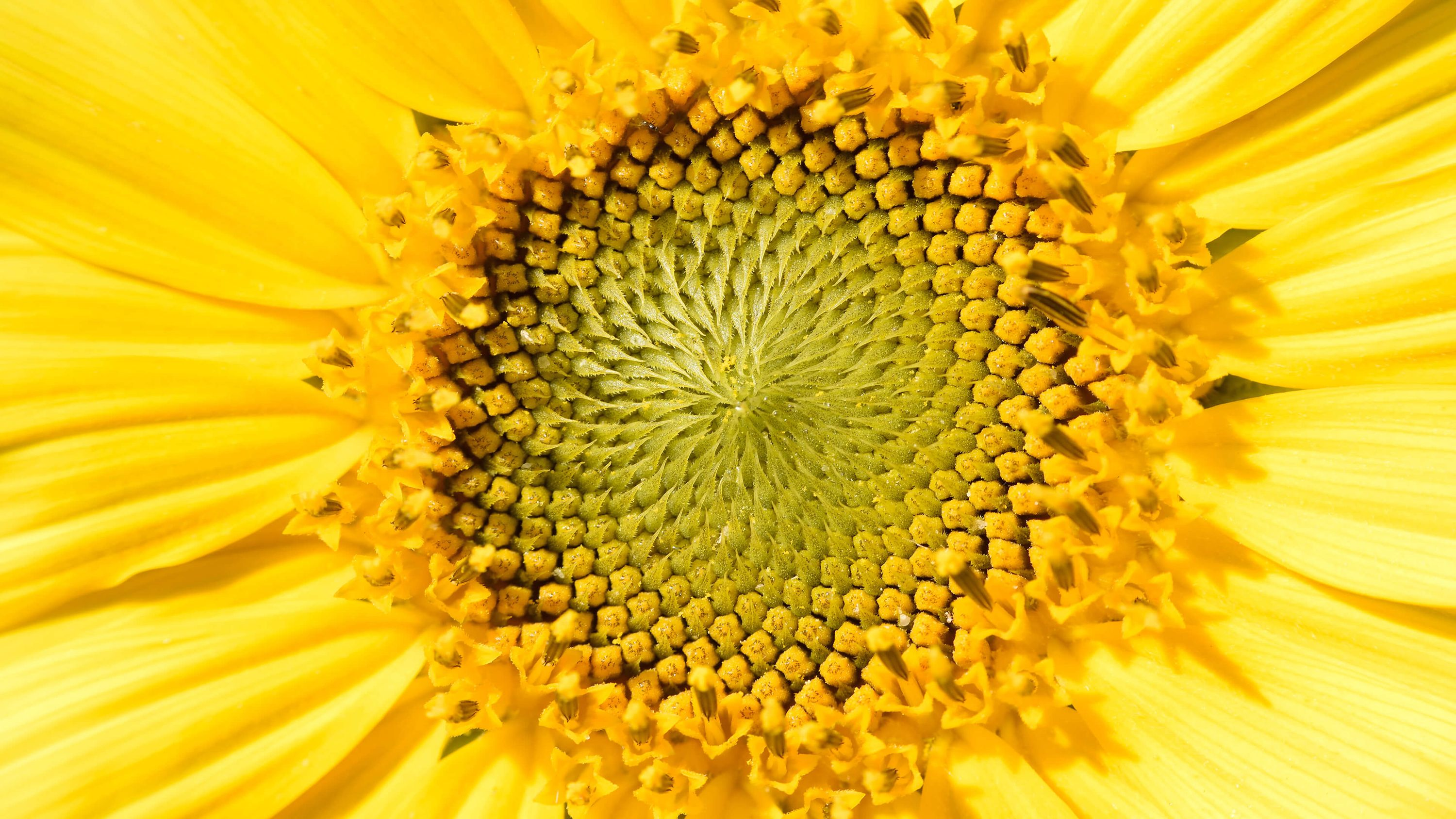 macro-photo-tournesols-zoom