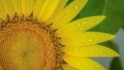 macro-photo-tournesols