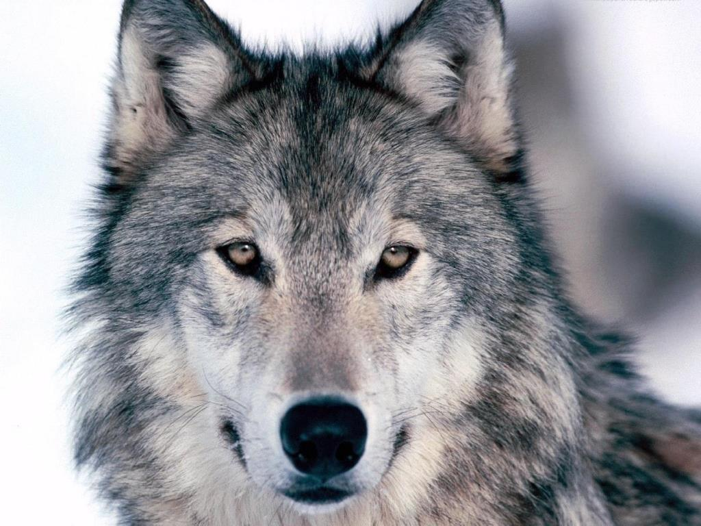 Loup animaux sauvages fonds d 39 cran animaux gratuits - Images d animaux sauvages gratuites ...