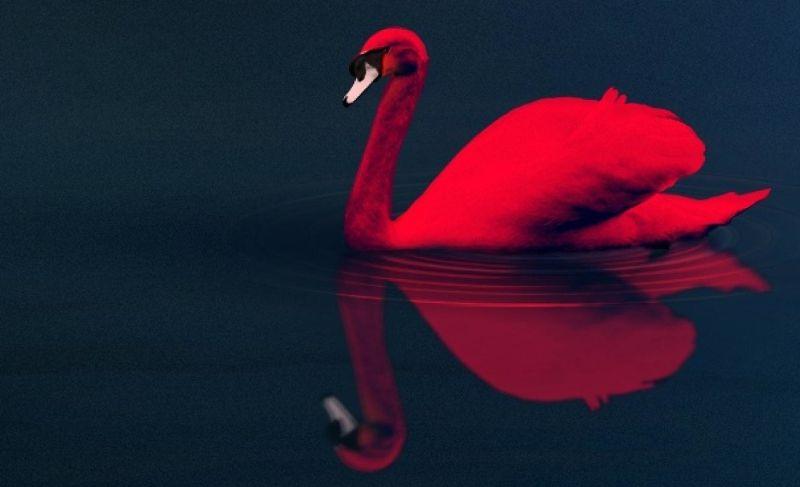 cygne rouge