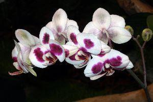 orchidées, photographie