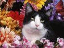fond-ecran_animaux_chats_03