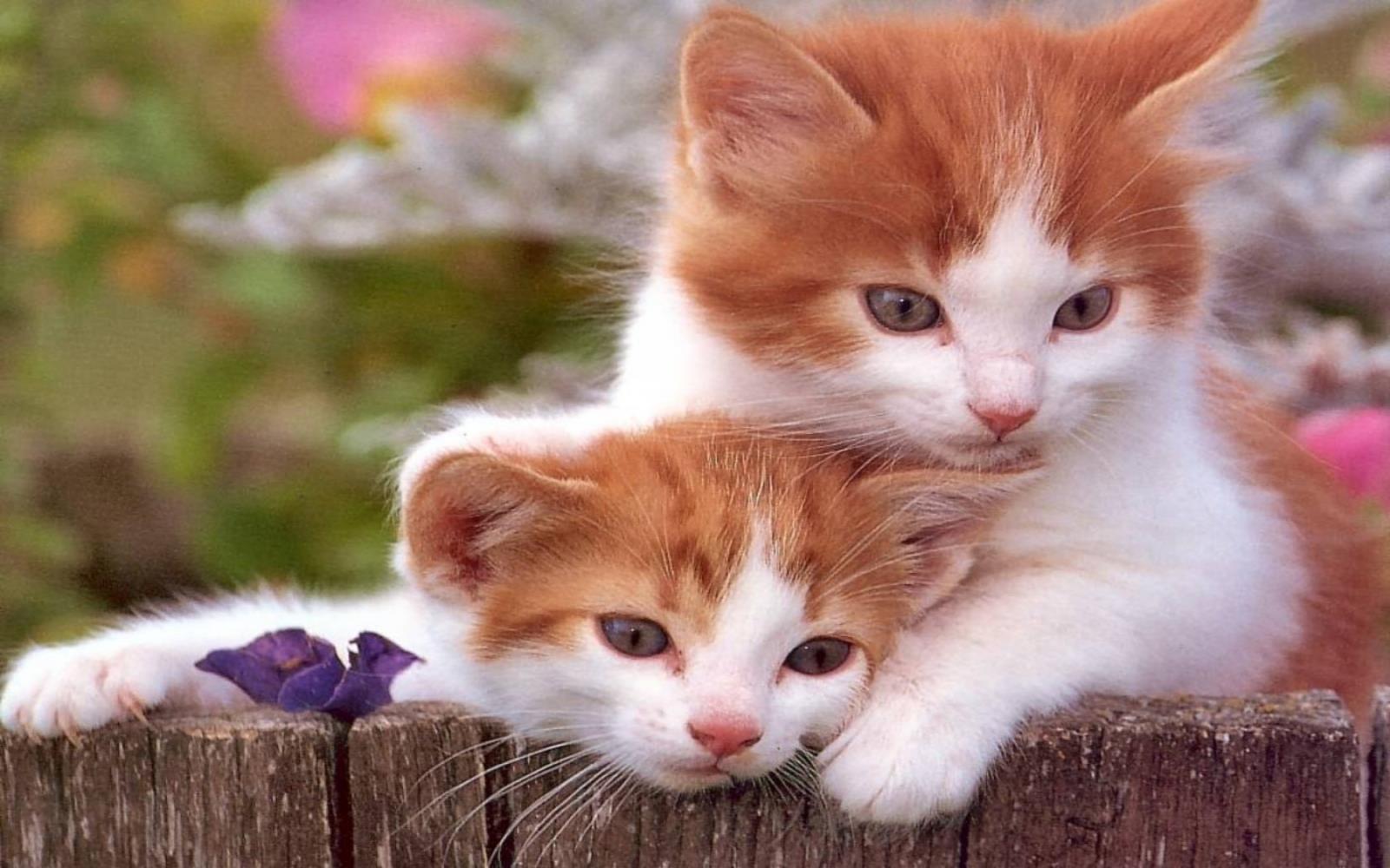 fond-ecran_animaux_chats_11