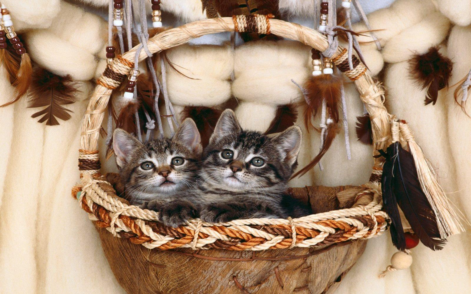 fond-ecran_animaux_chats_12