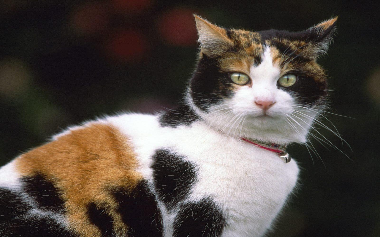 fond-ecran_animaux_chats_15