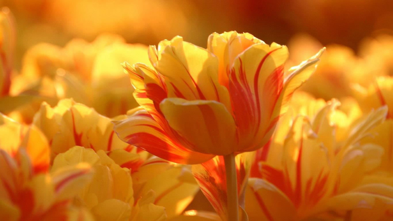 belles-fleurs_fonds-ecran_04