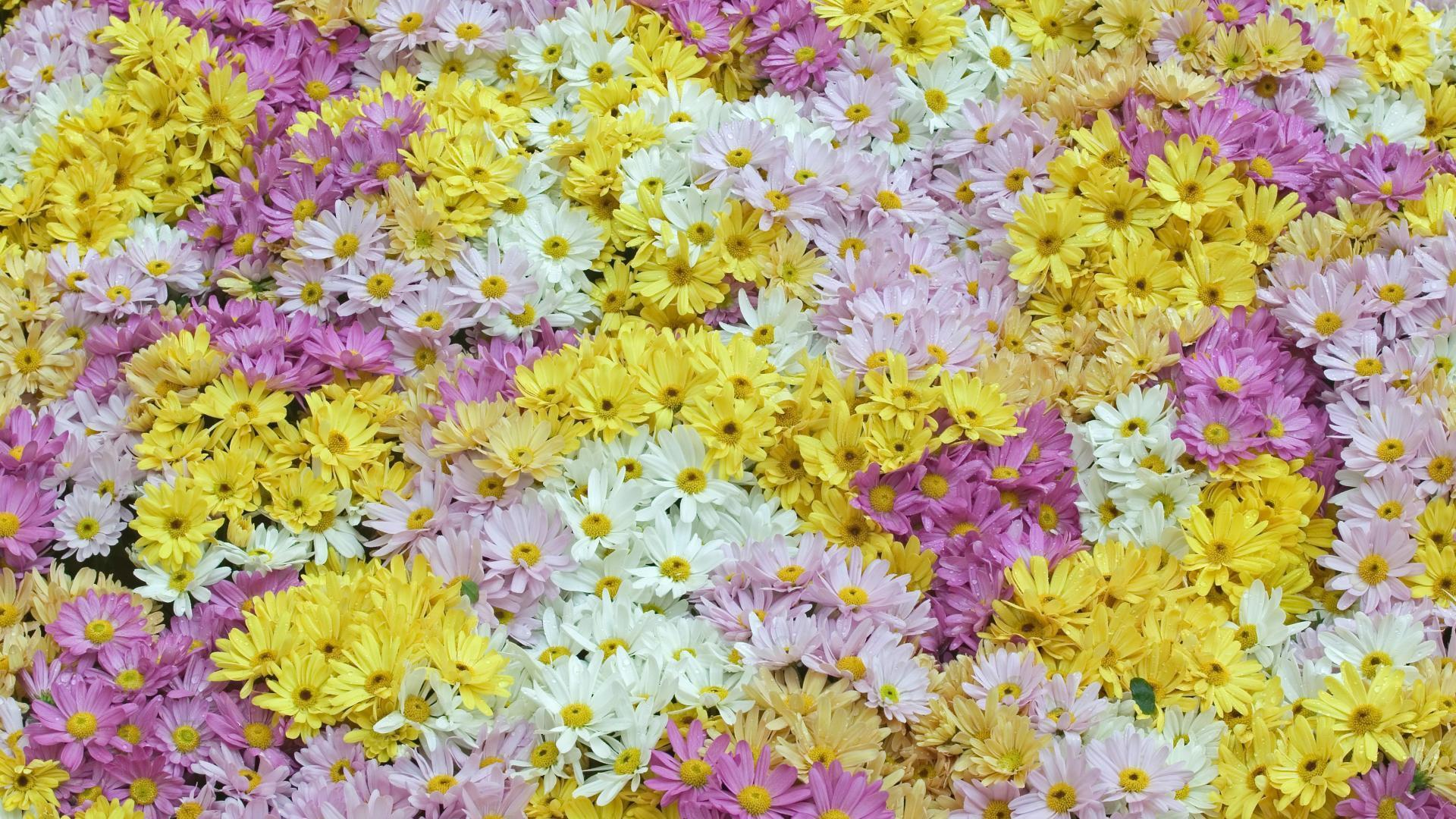 chrysanthemes_categorie-fleurs_fonds-ecran_telecharger_01