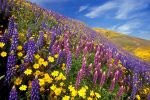 lupins_categorie-fleurs_fonds-ecran_telecharger_08
