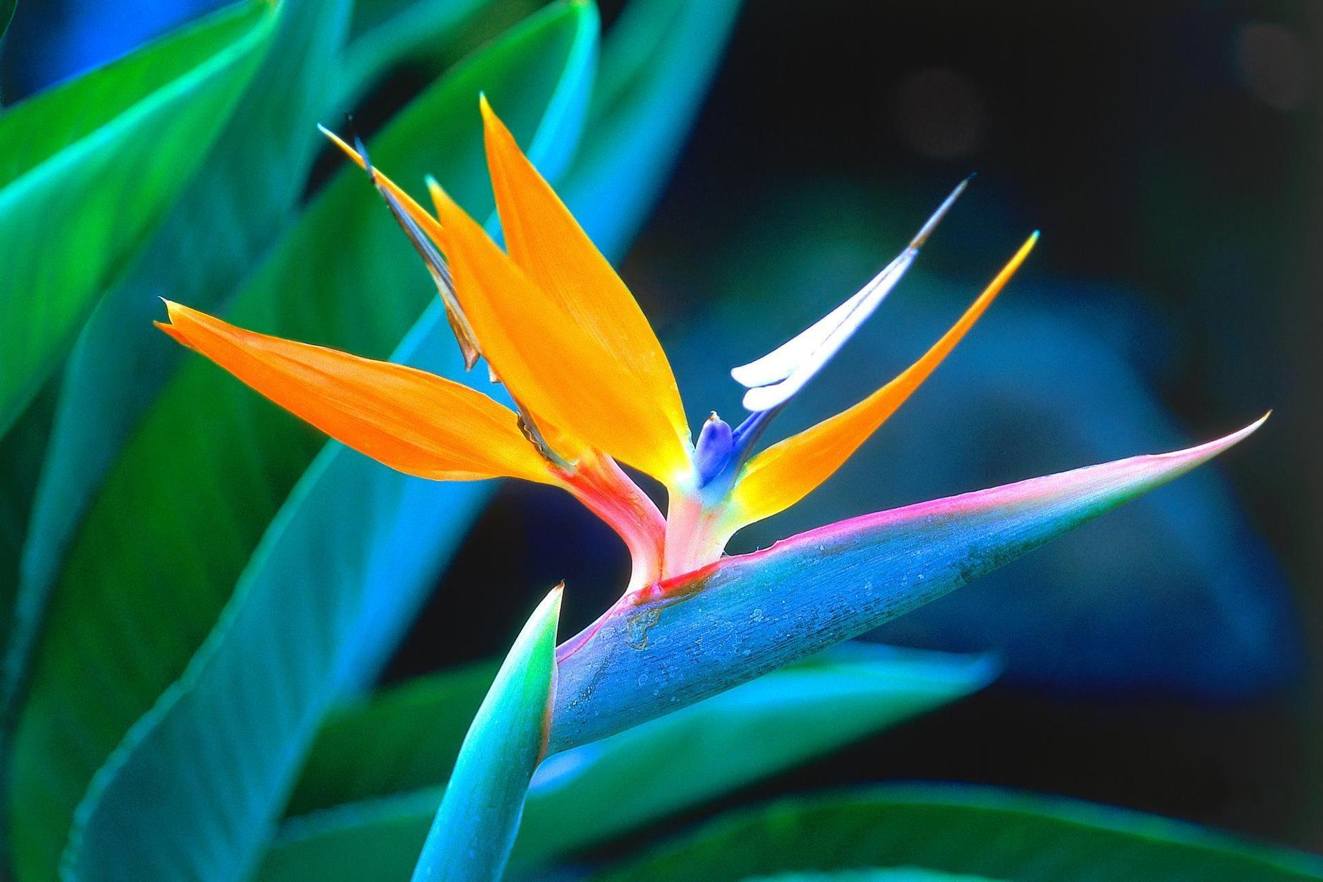 oiseau-de-paradis_categorie-fleurs_fonds-ecran_telecharger_07