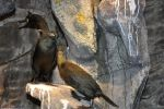 cormoran-huppe