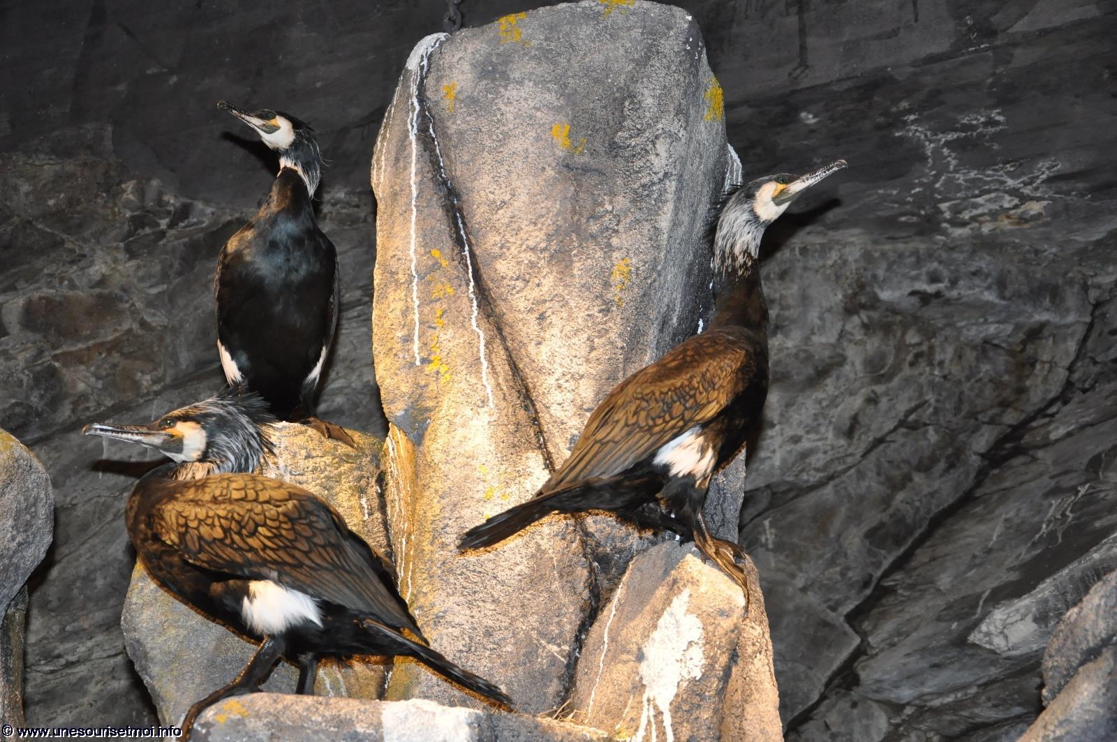 grand-cormoran