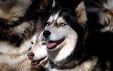 entre-chiens-et-loups_02