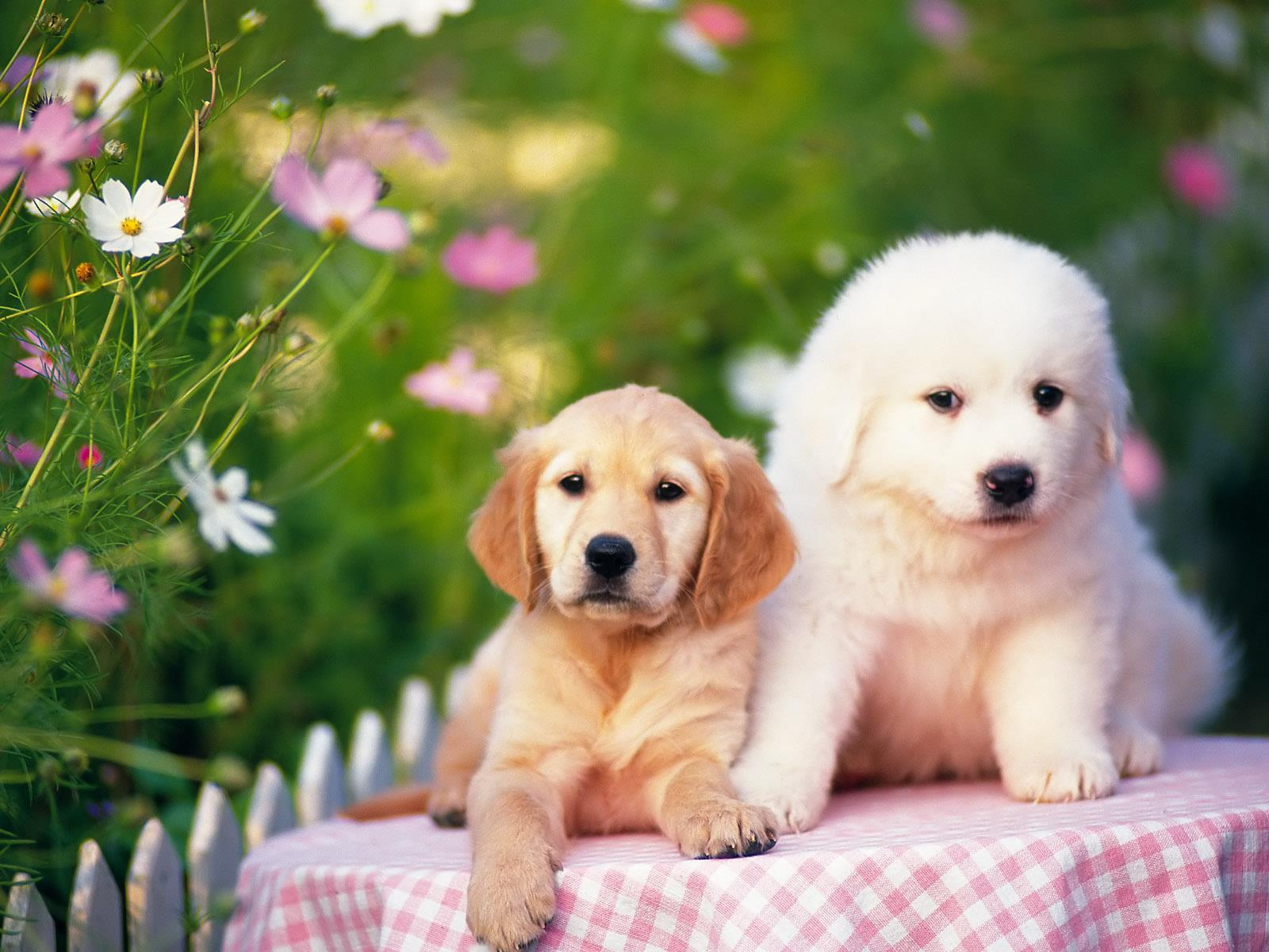 chiens_chiots_couples_02