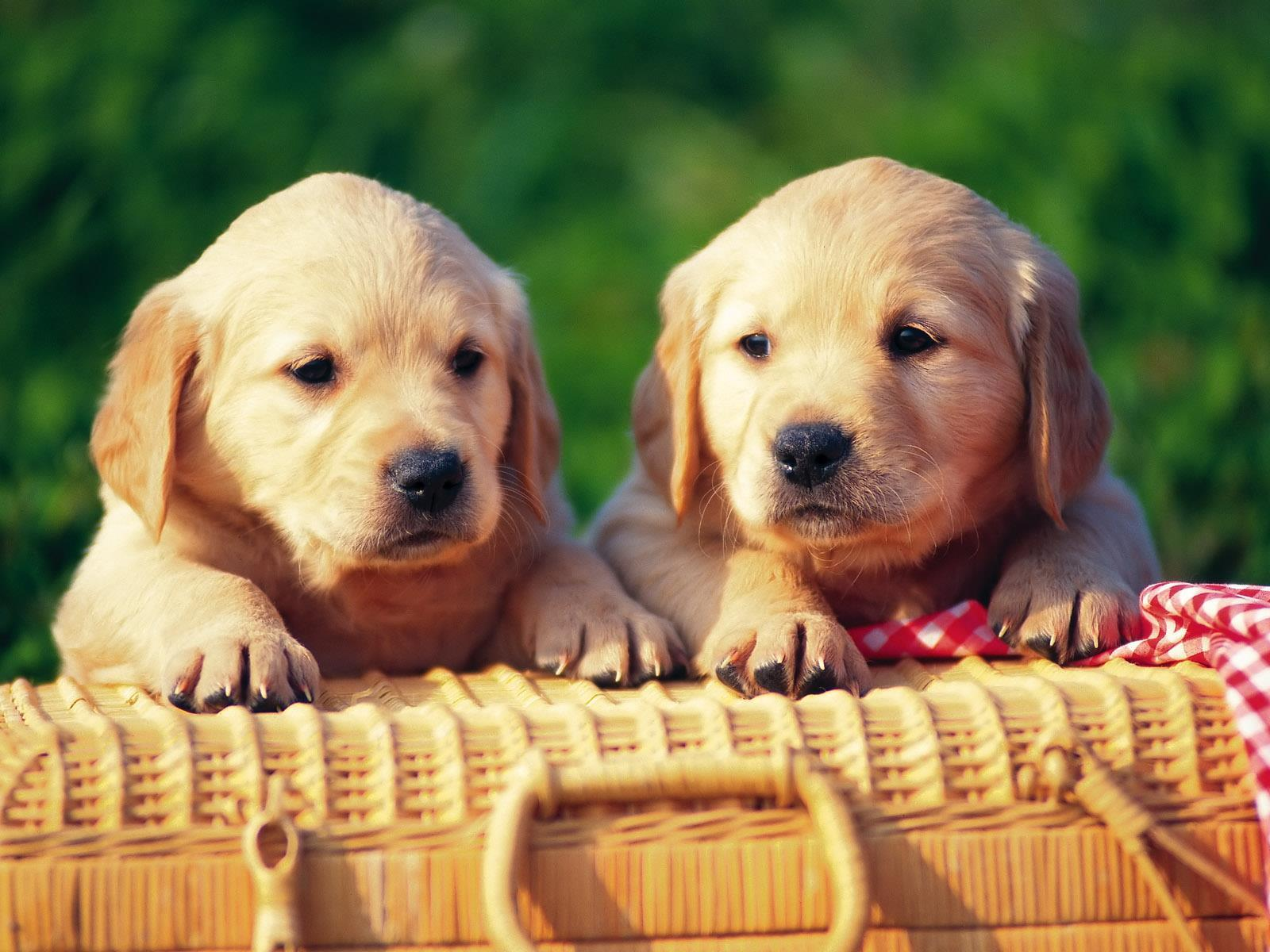 chiens_chiots_couples_03