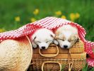 chiens_chiots_couples_04
