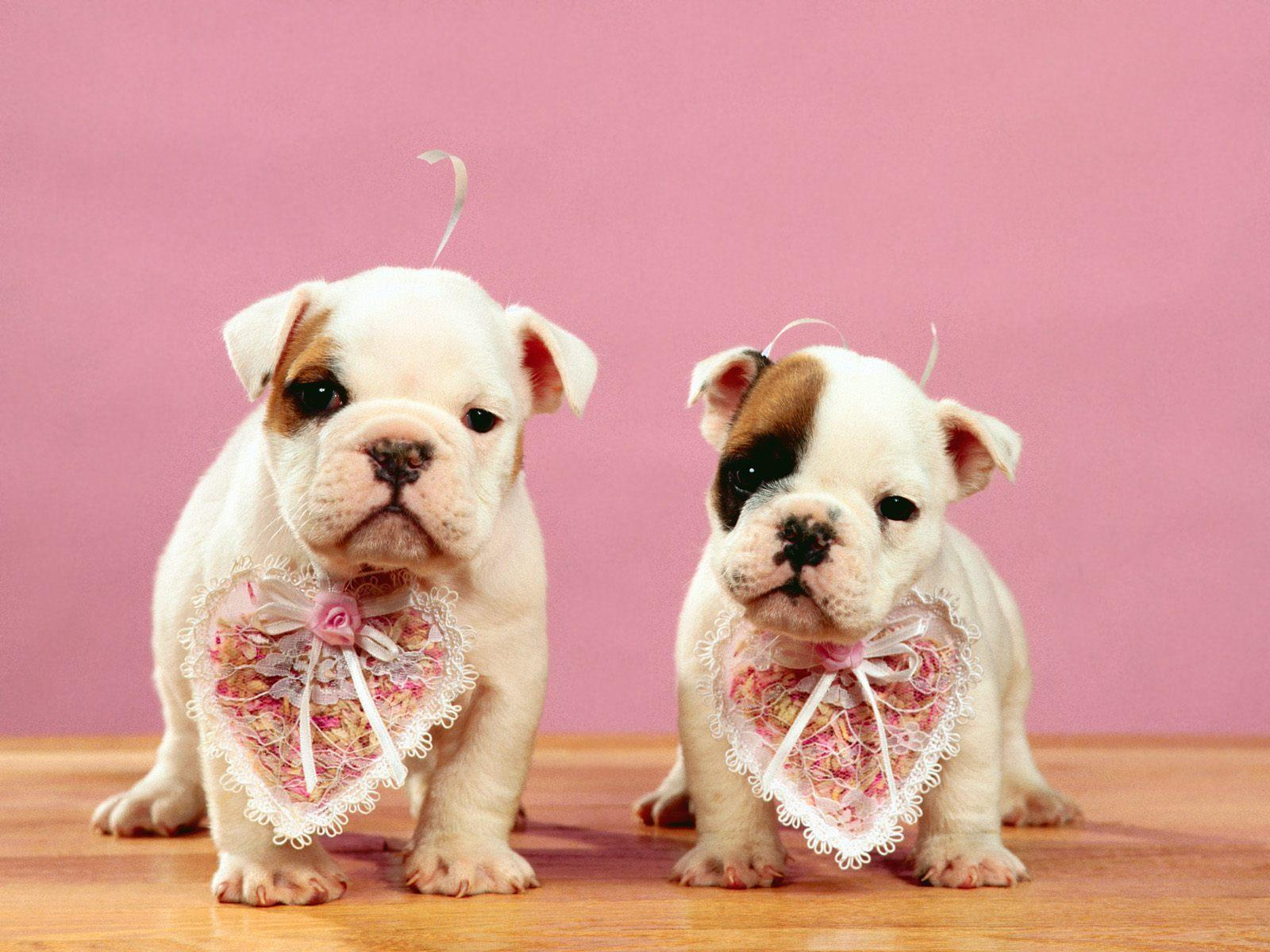 chiens_chiots_couples_08