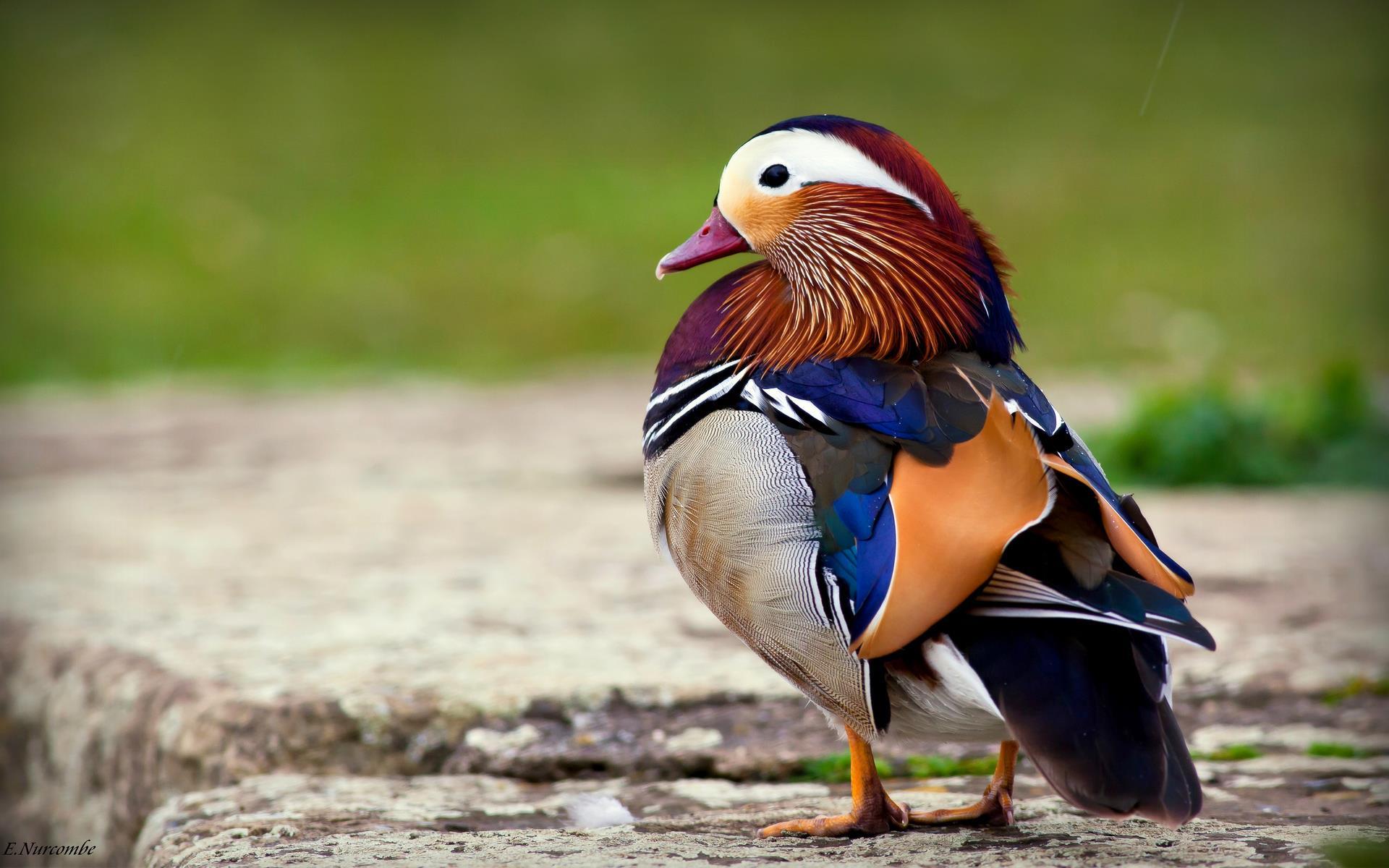 oiseaux-du-monde-en-images-et-fonds-ecran_04