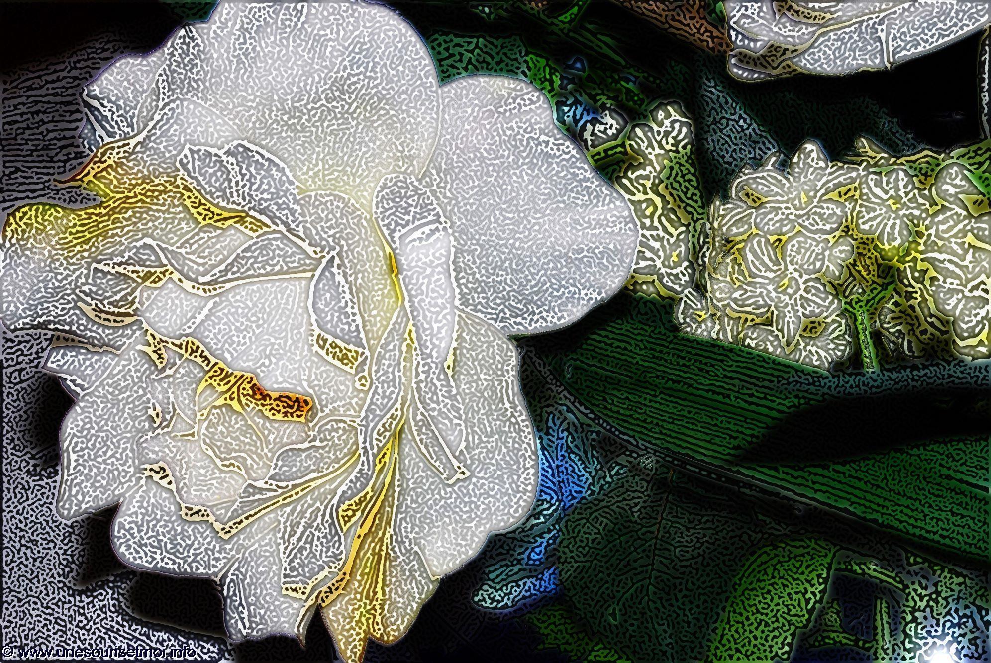 rose-blanche-retouche-photo-et-creation-personnelle