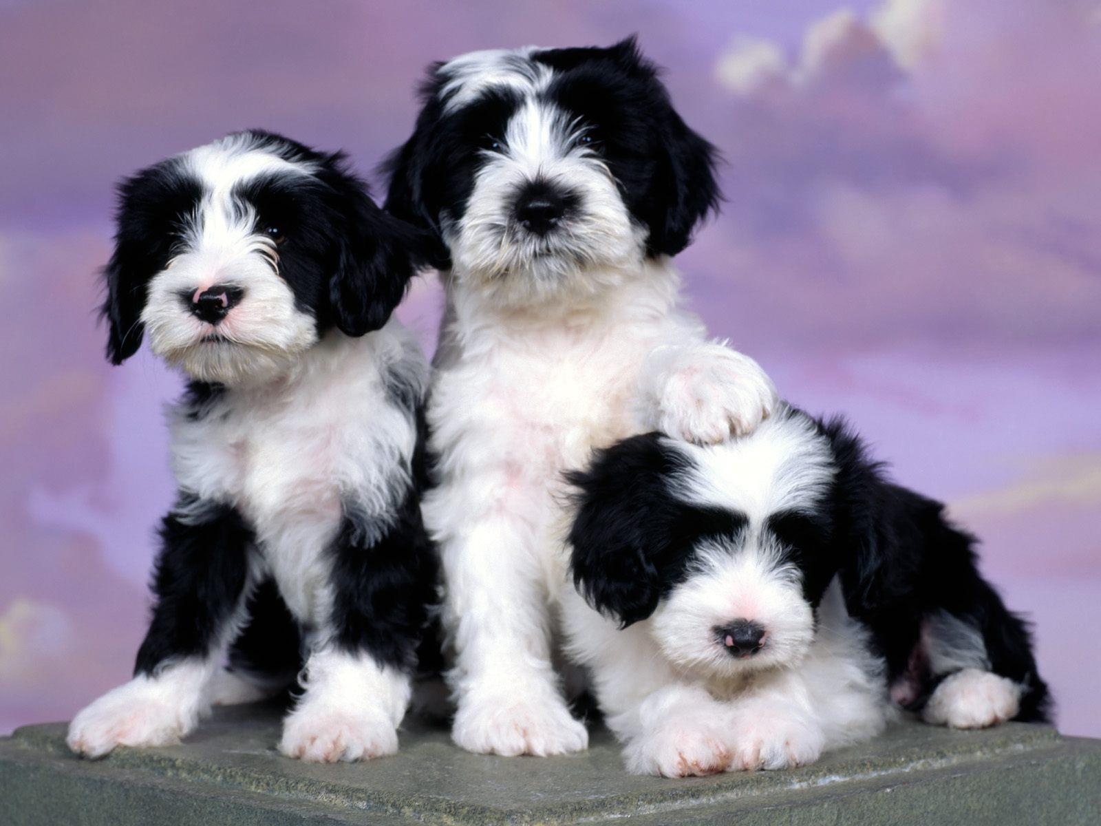 adopter-un-chiot-mignon-gratuit-4