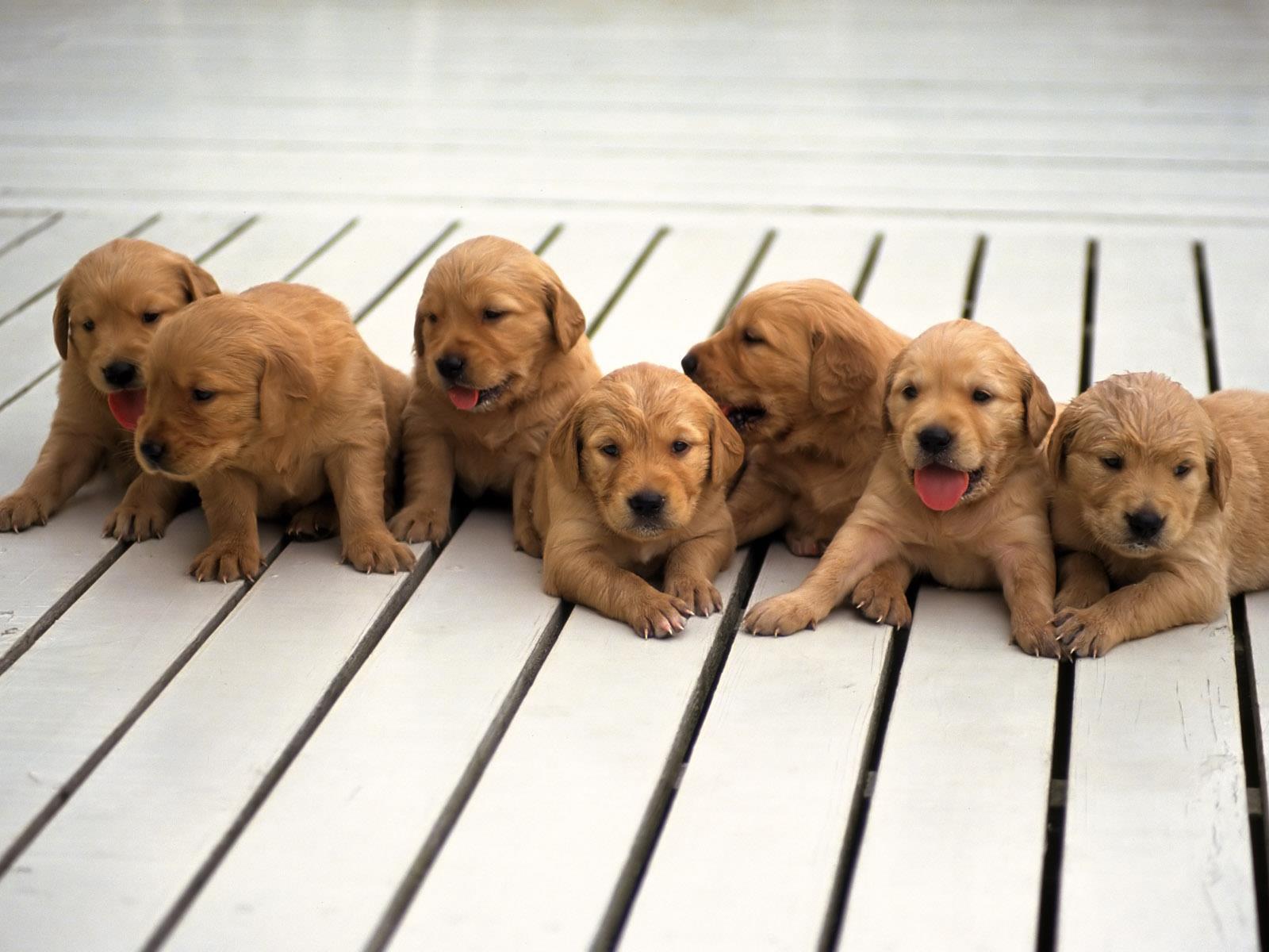fond-ecran-chiots-adopter-gratuit-photos-1