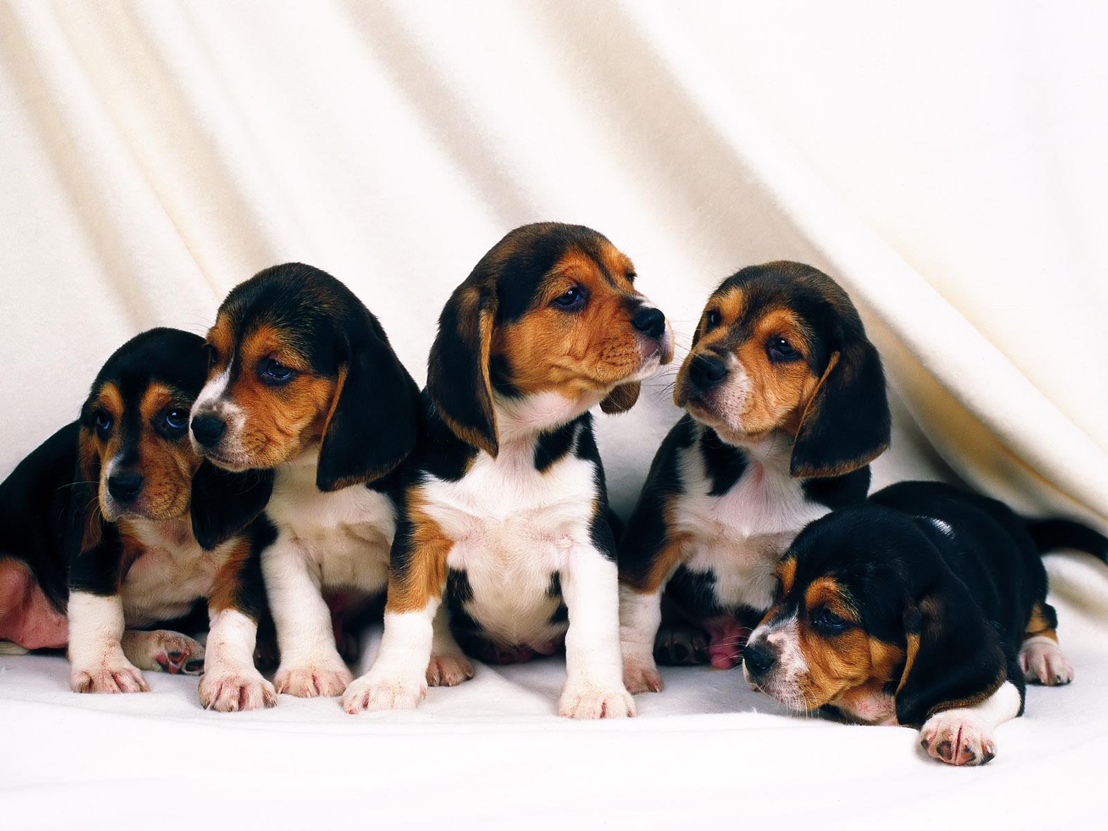 fond-ecran-chiots-adopter-gratuit-photos-2