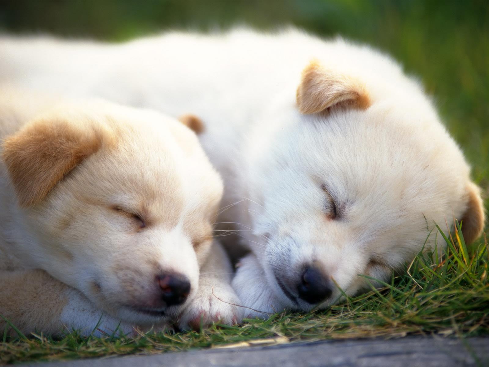 fond-ecran-chiots-adopter-gratuit-photos-3