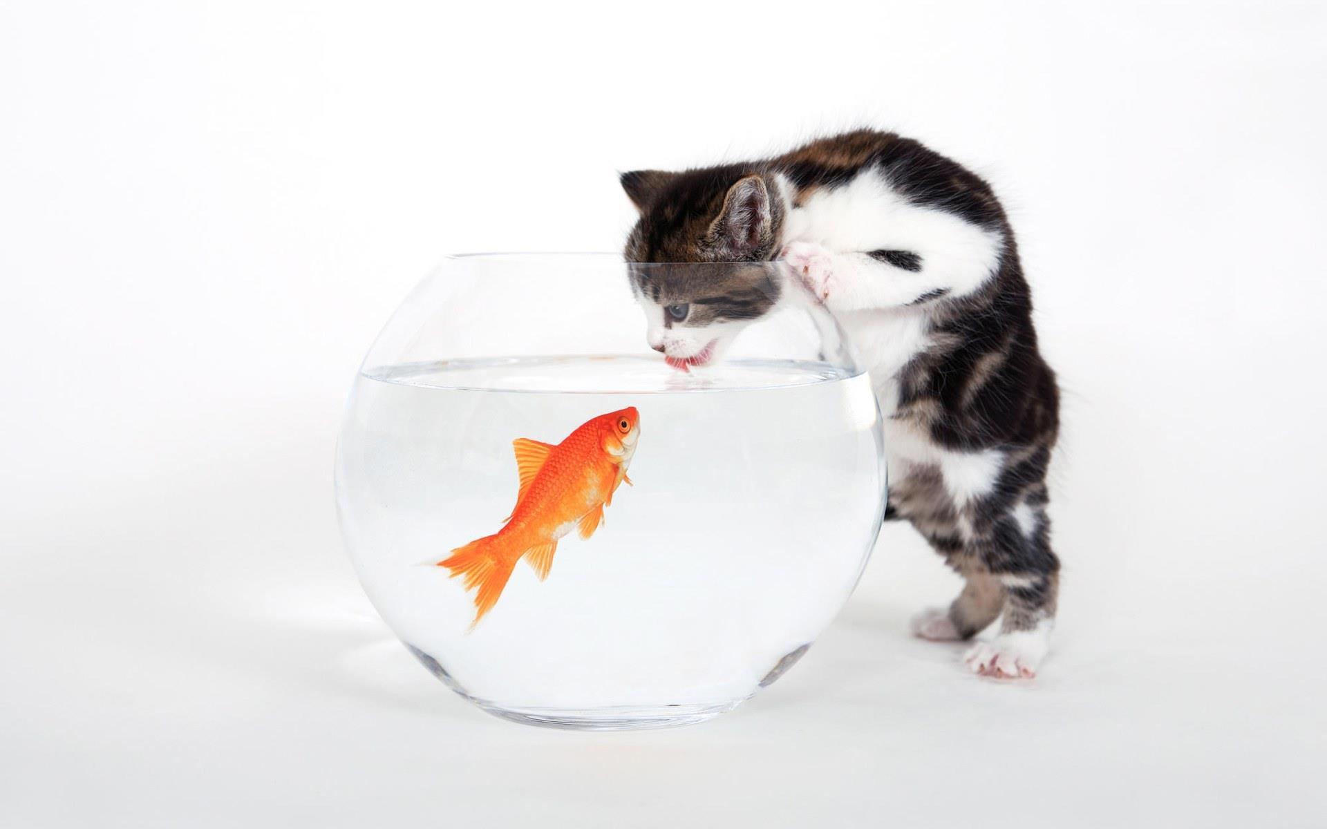 chat-bocal-et-poisson-rouge