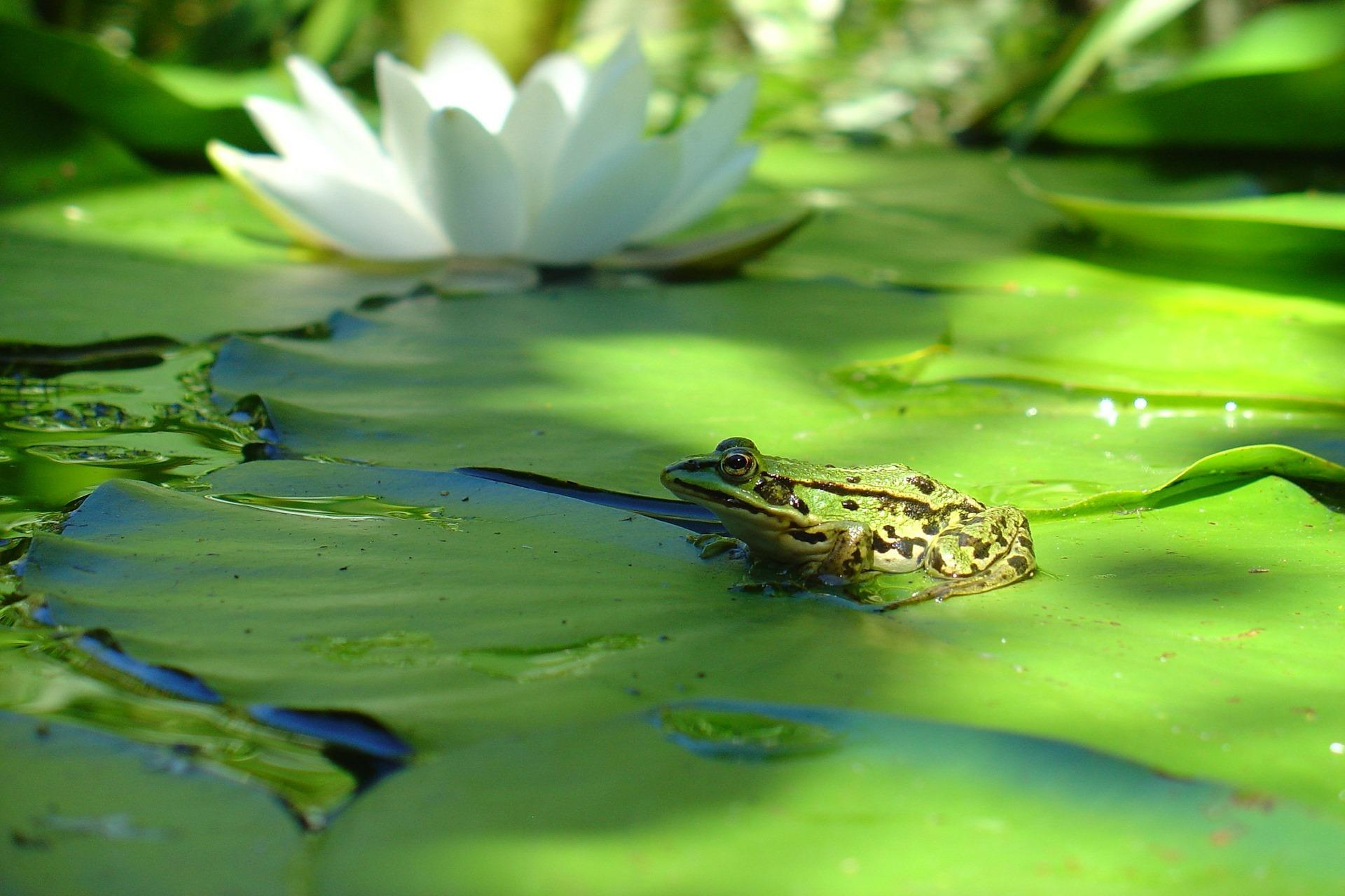grenouille-et-nenuphars-photographie-HD_1