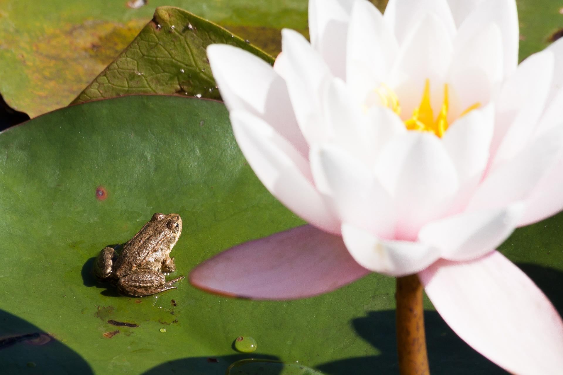grenouille-et-nenuphars-photographie-HD_2