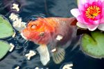 poisson-rouge-dans-les-nenuphars