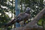 aigle-royal_fonds-ecran-gratuits_photos-oiseaux_17