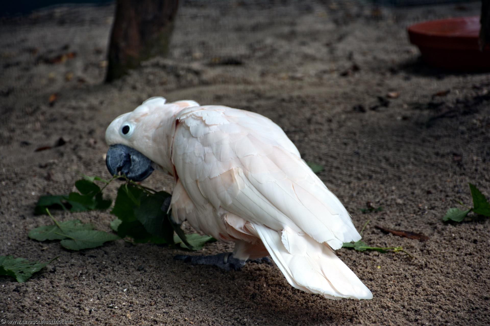 cacatoes_fonds-ecran-gratuits_photos-oiseaux_06