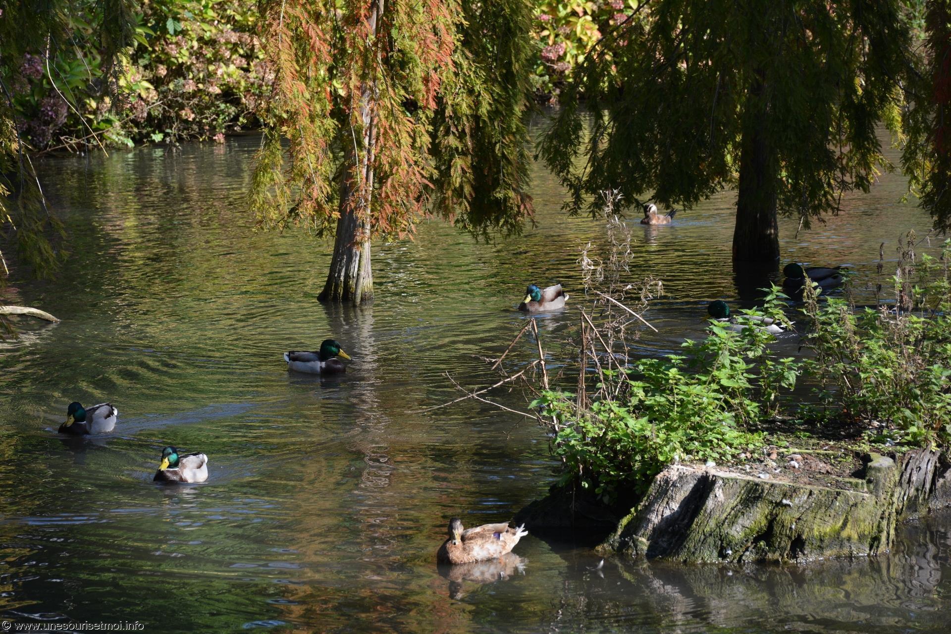 canards_fonds-ecran-gratuits_photos-oiseaux_12