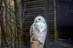 choette-harfang_fonds-ecran-gratuits_photos-oiseaux_18