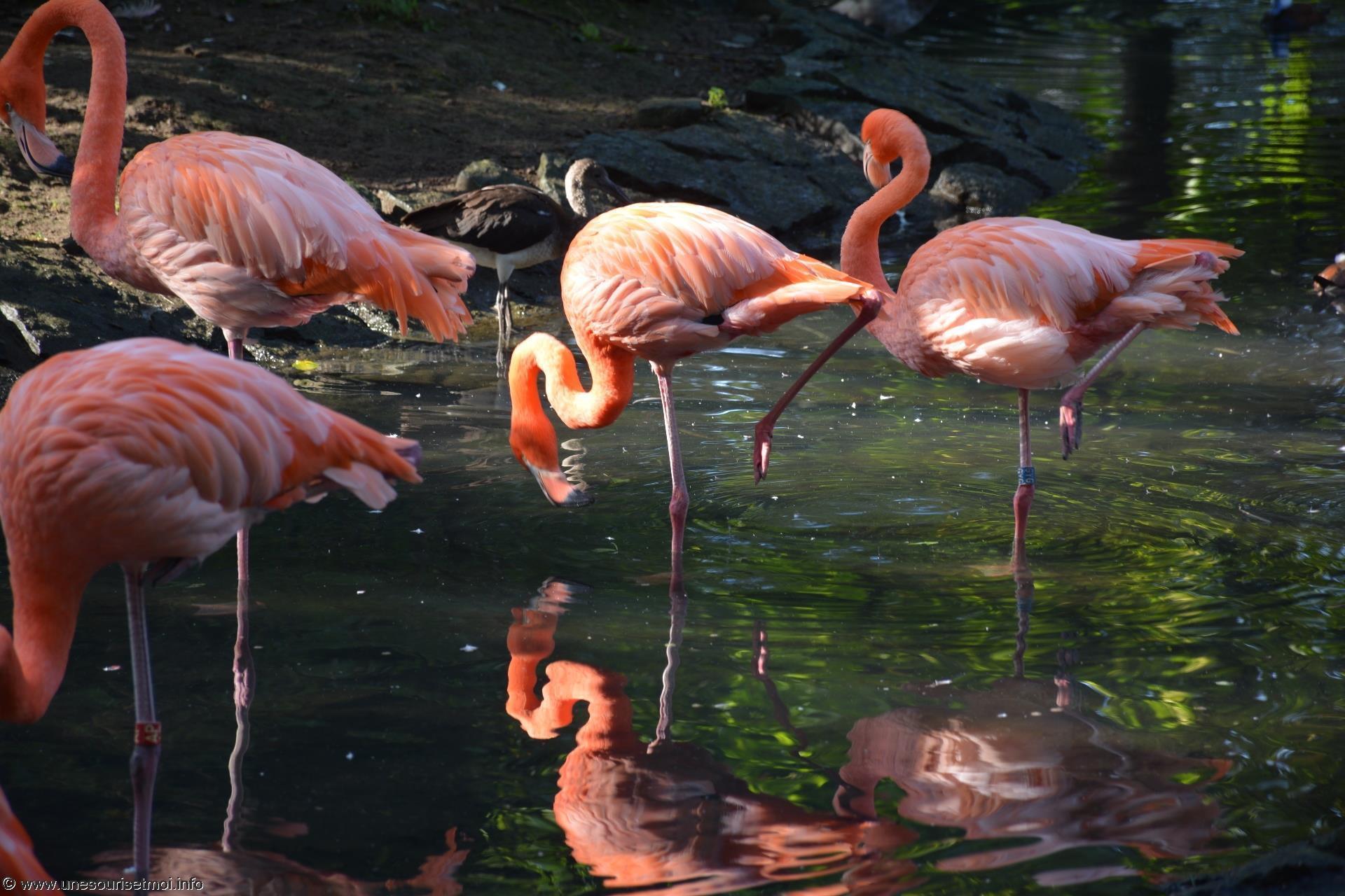 flamands-roses_fonds-ecran-gratuits_photos-oiseaux_09