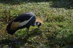 grue-cendree-couronnee_fonds-ecran-gratuits_photos-oiseaux_13