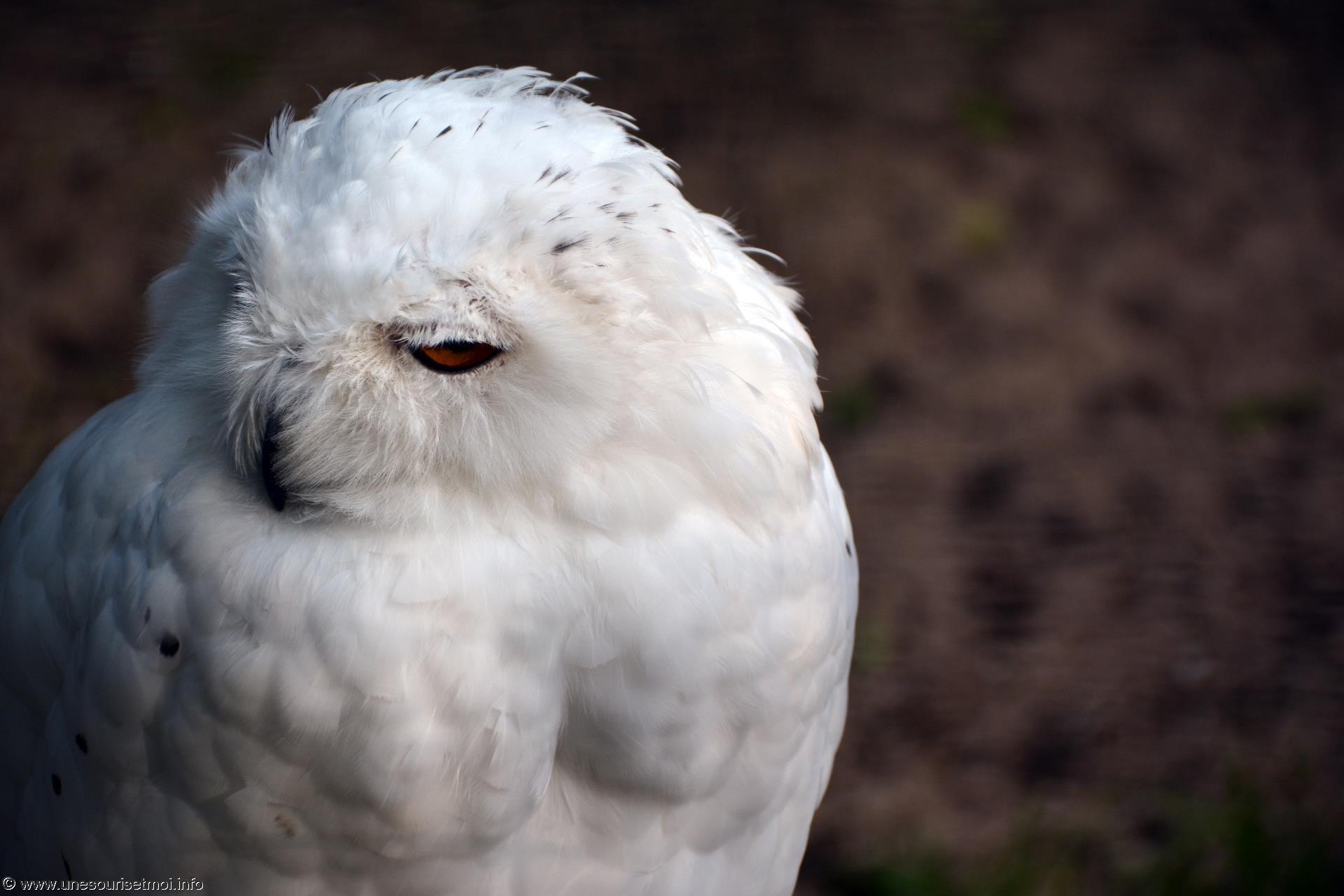 harfang-des-neiges_fonds-ecran-gratuits_photos-oiseaux_19
