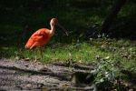 ibis-rouge_fonds-ecran-gratuits_photos-oiseaux_07