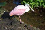 spatule_fonds-ecran-gratuits_photos-oiseaux_08