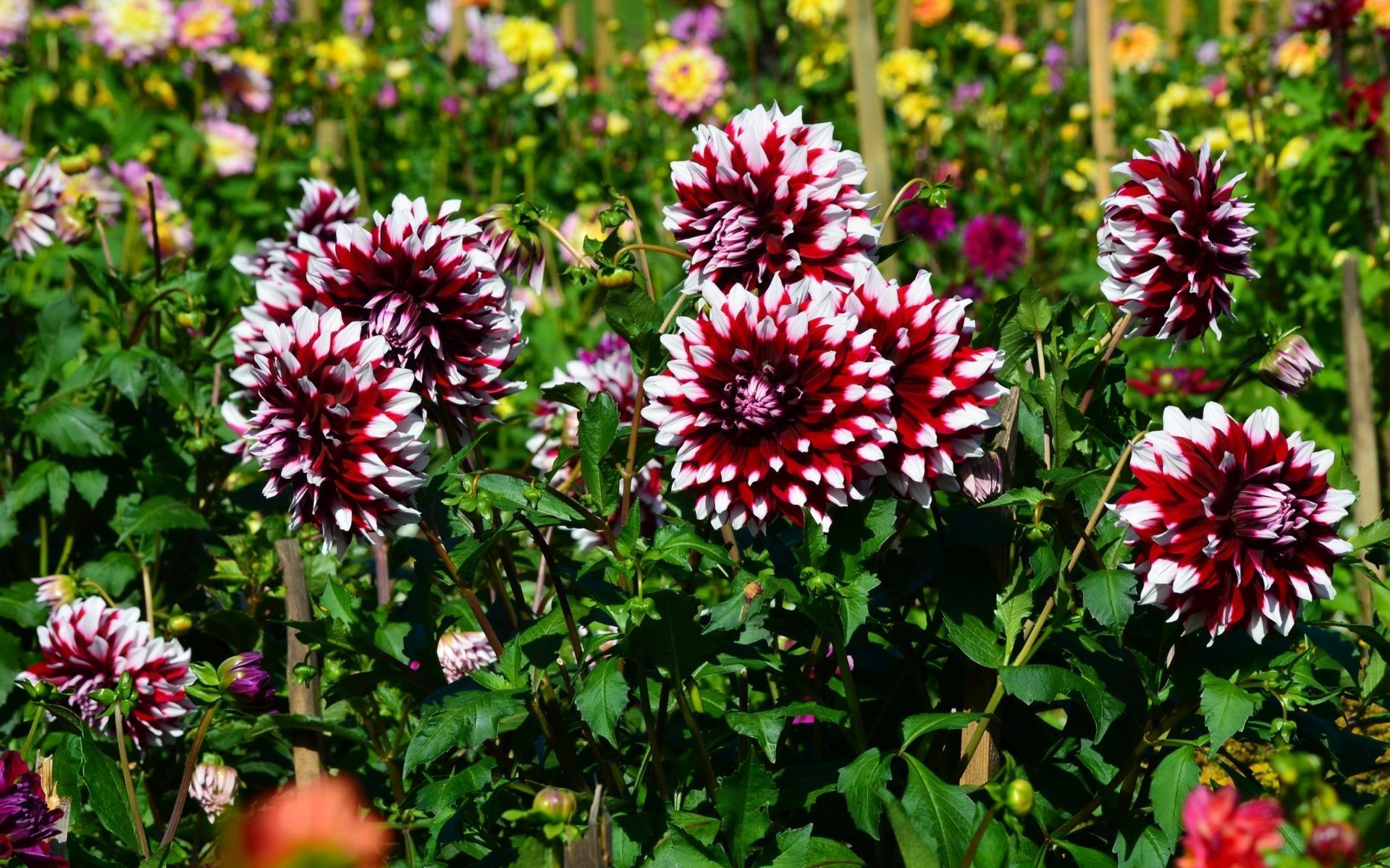 fonds d u0026 39  u00e9cran nature  les fleurs arrivent en grand format   - fleurs