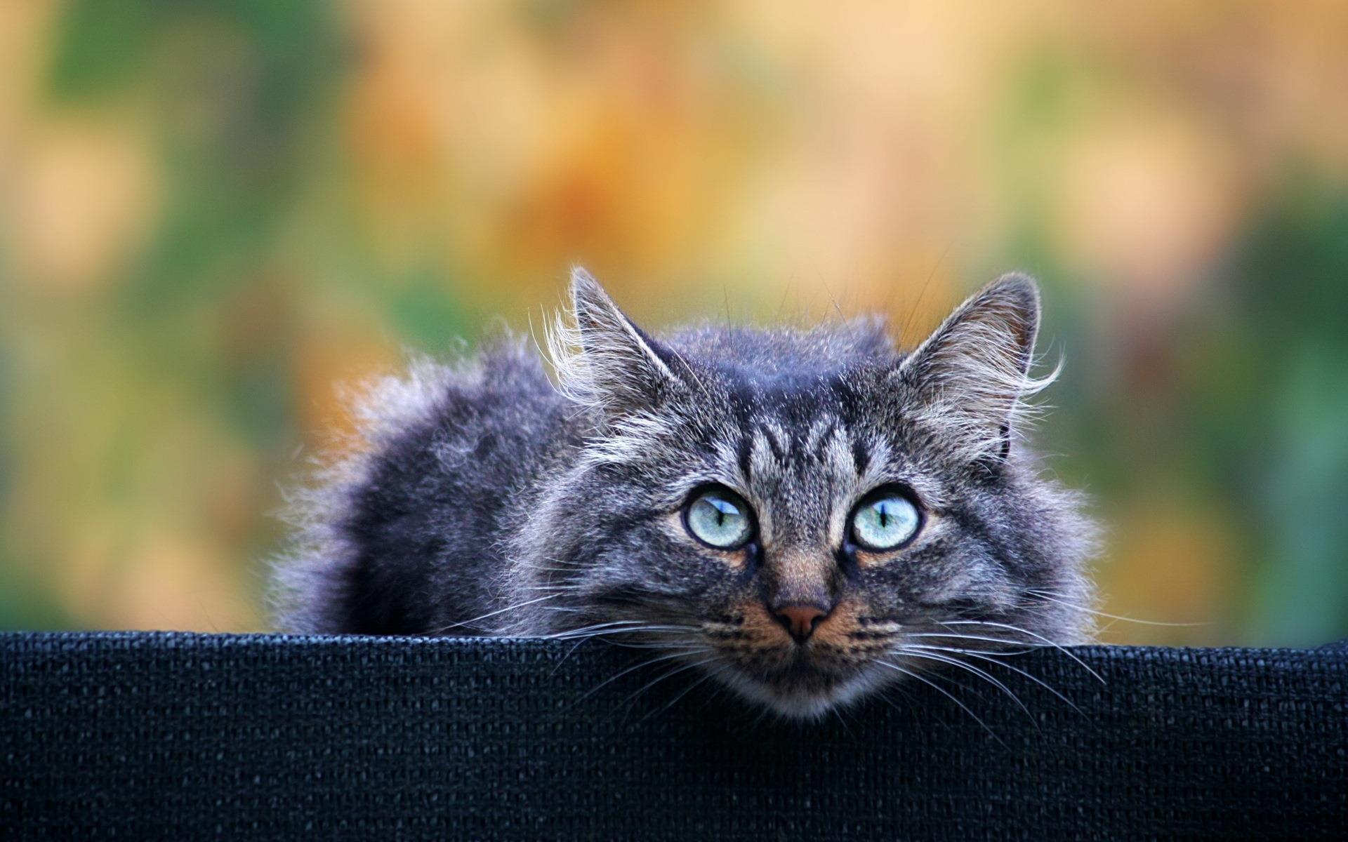 chat-aux-yeux-bleux_coucou