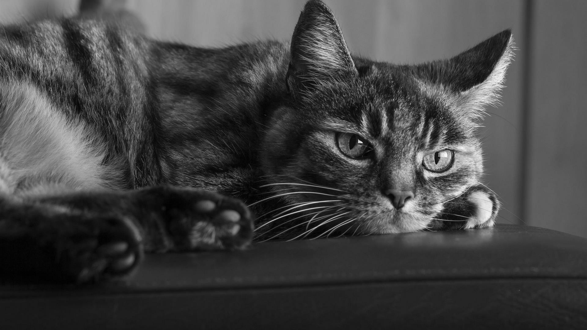 chat-photo-noir-et-blanc_animaux-domestiques_1