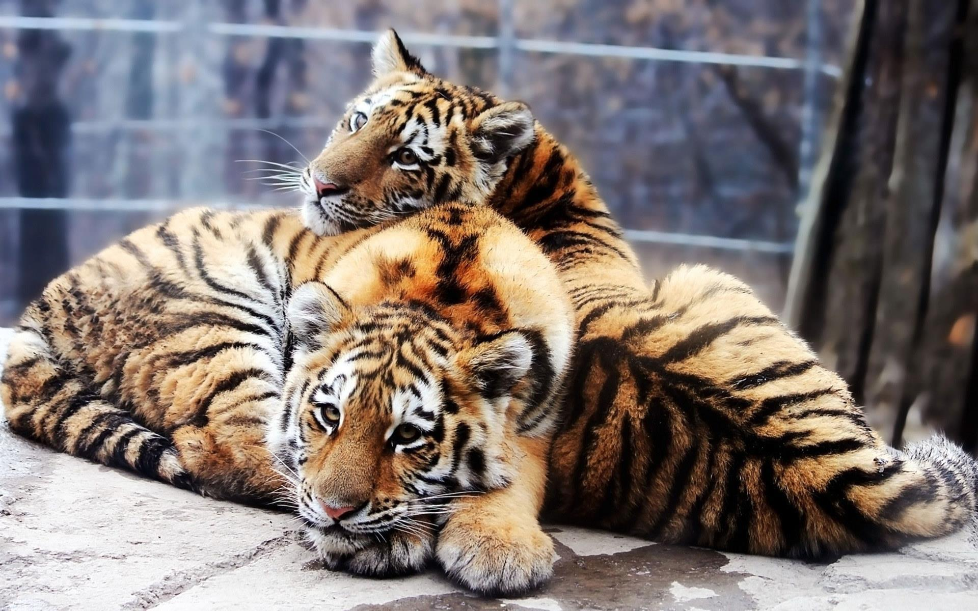 couple-de-tigres_animaux-sauvages_4