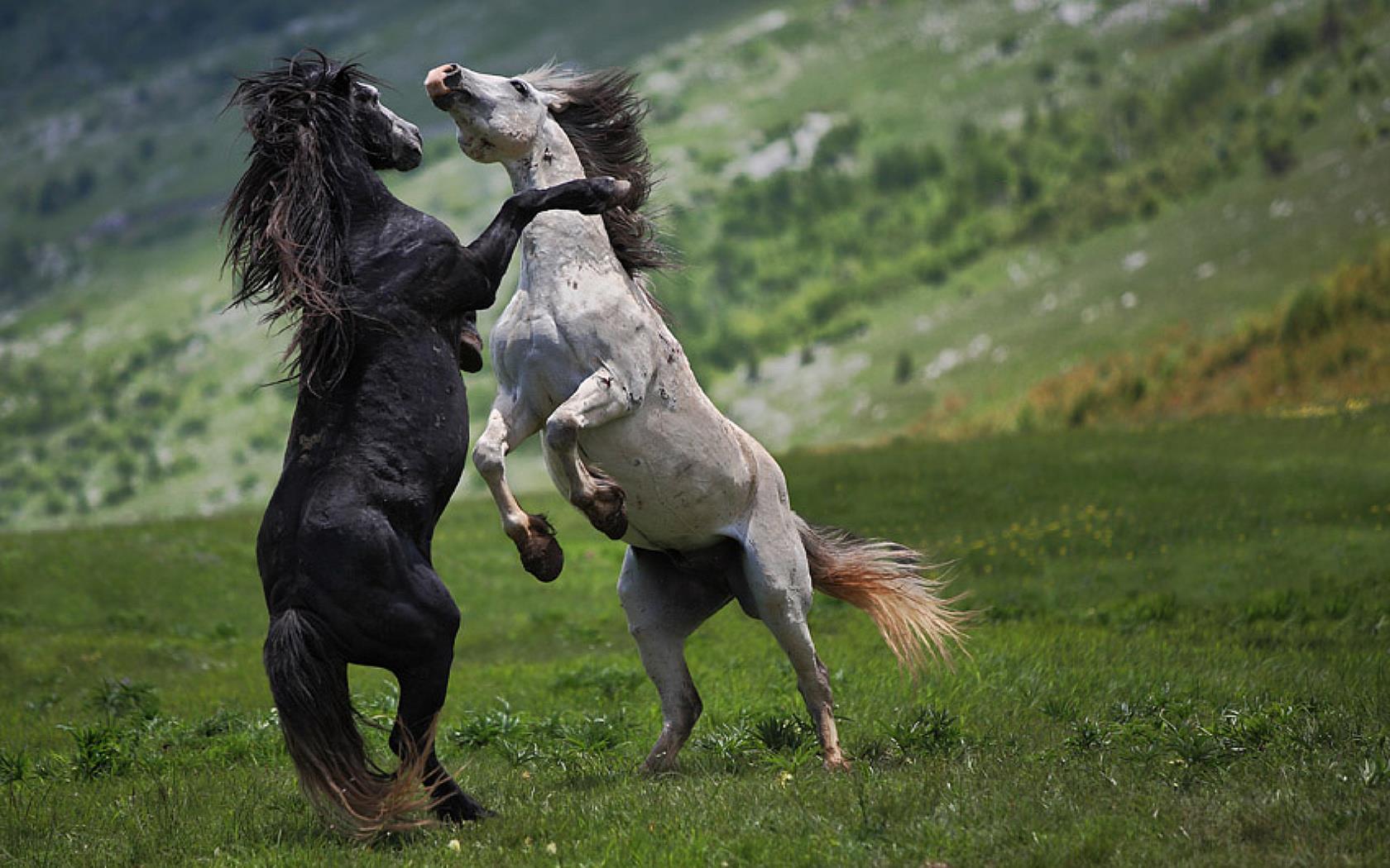 le-monde-des-chevaux_combat