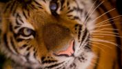 tigre-HD_animaux-sauvages_5